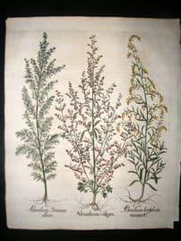 Besler 1613 LG Folio Hand Colored Botanical Print. Absinthium vulgare