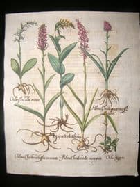 Besler 1613 LG Folio Hand Colored Botanical Print. Epipactis Latifolia, Wild Orchid