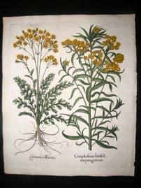 Besler 1613 LG Folio Hand Colored Botanical Print. Gnaphalium, Daisies