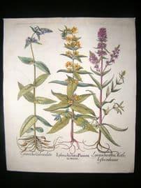 Besler 1613 LG Folio Hand Colored Botanical Print. Lysimachia