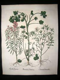 Besler 1613 LG Folio Hand Colored Botanical Print. Portulaca Sativa