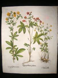Besler 1613 LG Folio Hand Colored Botanical Print. Quinquefolium palustre