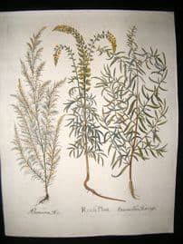 Besler 1613 LG Folio Hand Colored Botanical Print. Reseda Plinij, Dracuncellus