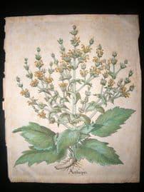 Besler 1640 LG Folio Hand Colored Botanical Print. Aethiopsis