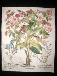 Besler 1640 LG Folio Hand Colored Botanical Print. Jasmine