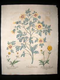 Besler 1713 LG Folio Botanical Print. Alcea Veneta, Flower of an Hour, Ranunculus