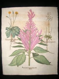 Besler 1713 LG Folio Hand Col Botanical Print. Amarantus Major Panniculus Rubris