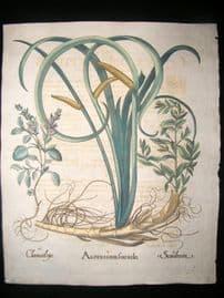 Besler 1713 LG Folio Hand Colored Botanical Print. Acorus cum, Chamaedrys