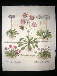 Besler 1713 LG Folio Hand Colored Botanical Print. Bellisprolifer Variegata, etc