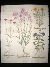 Besler 1713 LG Folio Hand Colored Botanical Print. Caryophyllus Syluestris