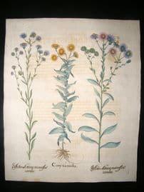 Besler 1713 LG Folio Hand Colored Botanical Print. Conyzamedia, Aster