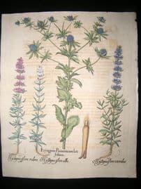 Besler 1713 LG Folio Hand Colored Botanical Print. Eryngium, Hyssopus