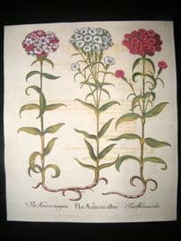 Besler 1713 LG Folio Hand Colored Botanical Print. Flos Amerius
