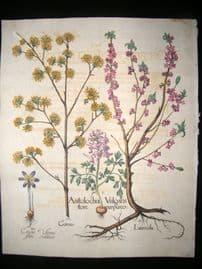 Besler 1713 LG Folio Hand Colored Botanical Print. Fumewort, Crocus