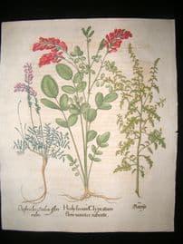 Besler 1713 LG Folio Hand Colored Botanical Print. Geranium, Honeysuckle