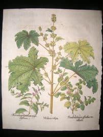 Besler 1713 LG Folio Hand Colored Botanical Print. Malua Crispa, Curled Mallow