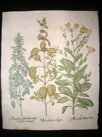 Besler 1713 LG Folio Hand Colored Botanical Print. Marrubium vulgare