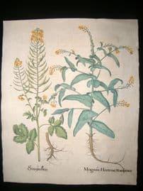 Besler 1713 LG Folio Hand Colored Botanical Print. Myagrum