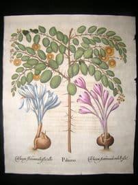 Besler 1713 LG Folio Hand Colored Botanical Print. Paliurus, Christ's Thorn