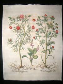 Besler 1713 LG Folio Hand Colored Botanical Print. Pyrola, etc
