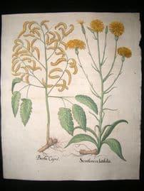 Besler 1713 LG Folio Hand Colored Botanical Print. Scorsonera latifolia