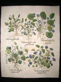 Besler 1713 LG Folio Hand Colored Botanical Print. Sweet Violets