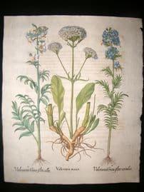 Besler 1713 LG Folio Hand Colored Botanical Print. Valeriana Major