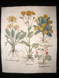 Besler 1713 LG Folio HC Botanical Print. Cowslip, Doronicum, Garden Primrose