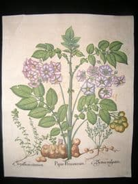 Besler 1713 LG Folio HC Botanical Print. Papas Peruanorum, Potato, Lemon Thyme