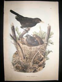 Bettoni & Oscar Dressler 1865 Folio Bird Print. Blackbird & Nest