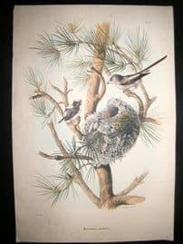 Bettoni & Oscar Dressler 1865 Folio Bird Print. Long tailed Tit & Nest