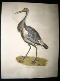 Bird Print 1818 Black Stork. USA Florida Native. 1st Ever Printed Illustration
