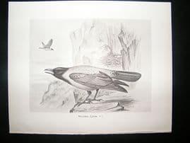 Bird Print: 1898 Hooded Crow, Frohawk