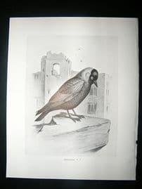 Bird Print: 1898 Jackdaw, Frohawk