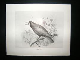 Bird Print: 1898 Rook, Frohawk