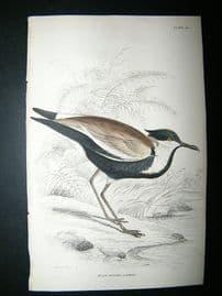 Bird Print: C1840 Black Bodied Lapwing, Hand Col