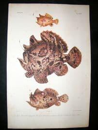 Bleeker C1870 Folio Antique Fish Print. Antennarius Frogfish 195
