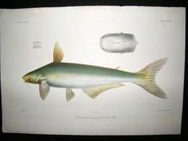Bleeker C1870 Folio Antique Fish Print. Pseudopangasius Polyuranodon 78