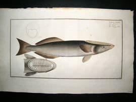Bloch C1785 Folio Hand Colored Antique Fish Print. Sucking Fish 172