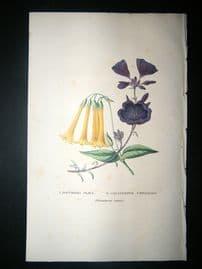 Botanical Print: 1845 Bouvardia Flava, Hand Col