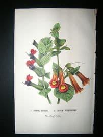 Botanical Print: 1845 Cuphea Miniata, Hand Col