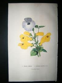 Botanical Print: 1845 Torenia Cordata, Hand Col