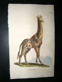 Brightly 1811 Antique Hand Col Print. Giraffe