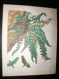 Britten & Cassell Ferns 1879 Botanical Print. Asplenium Marinum