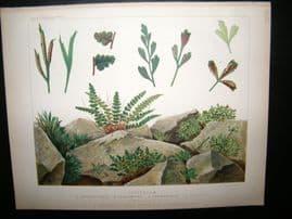 Britten & Cassell Ferns 1879 Botanical Print. Asplnium Septentrionale etc