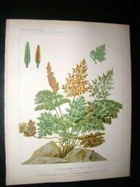 Britten & Cassell Ferns 1879 Botanical Print. Cryptogramma Crispa