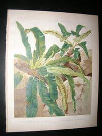 Britten & Cassell Ferns 1879 Botanical Print. Scolopendrium Vulgare, Hemiontis