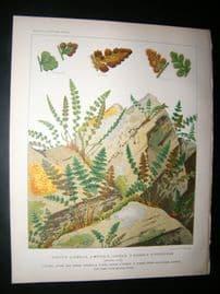 Britten & Cassell Ferns 1879 Botanical Print. Woodsia