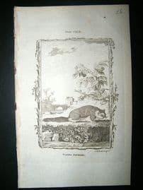 Buffon: 1785 Flying Squirrel, Antique Print