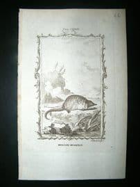 Buffon: 1785 Muscovy Musk Rat, Antique Print
